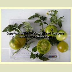 Dwarf Beryl Beauty Tomato