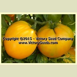 Dwarf Golden Heart Tomato