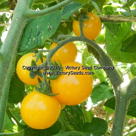 Galina Tomato<br><b>SOLD OUT for 2020</b>