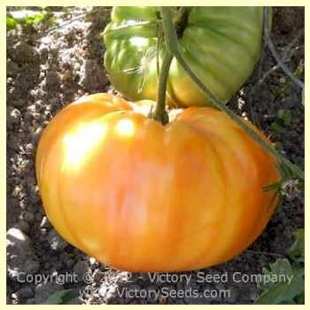 German Yellow Stripe Tomato