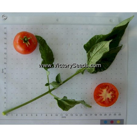 Glacier Tomato<br><b>Sold Out for 2019</b>