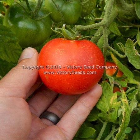 Globonnie Tomato<br><b>Coming Soon</b>
