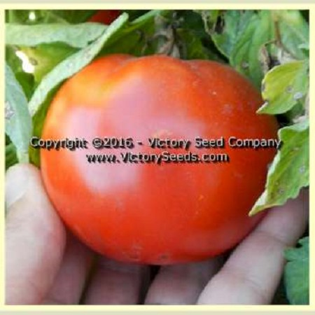 Isbell's New Phenomenal Tomato