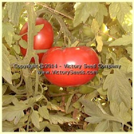 Livingston's Favorite Tomato