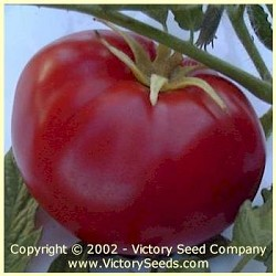 Livingston's Honor Bright Tomato