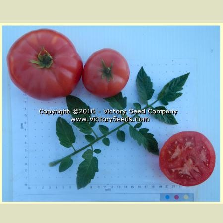 Livingston's Main Crop Pink Tomato