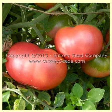 Louisiana All Season Tomato