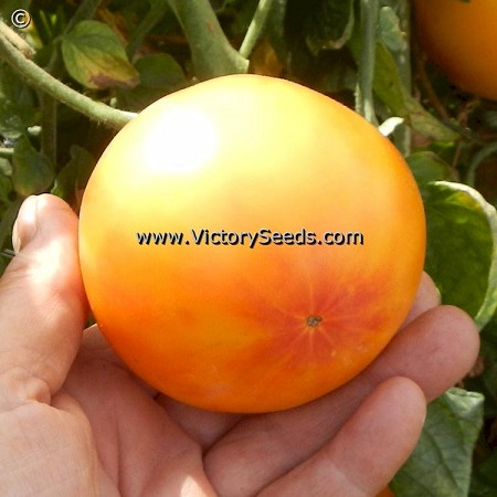 Lucky Cross Tomato<br><b>SOLD OUT for 2020</b>
