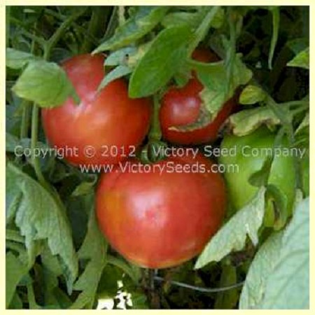 Marhio (Livingston's Marvelous) Tomato