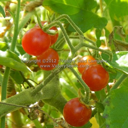 Mexico Midget Tomato<br><b>SOLD OUT</b>