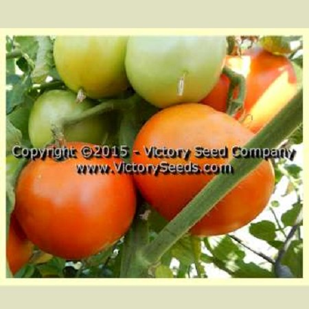 Moneymaker Tomato