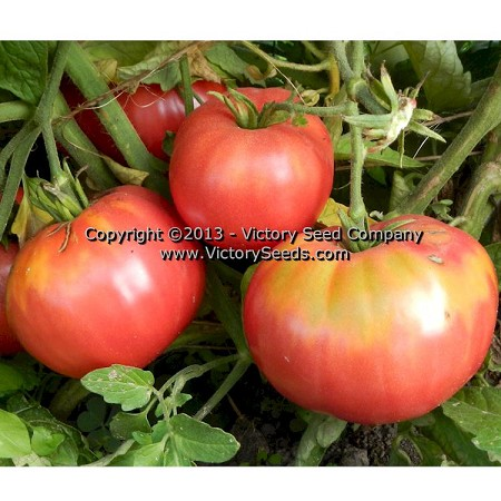 Pale Leaf Mortgage Lifter Tomato