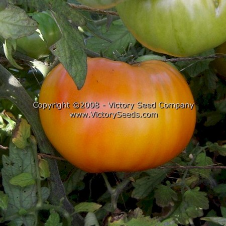 Mr. Stripey Tomato<br><b>SOLD OUT for 2020</b>
