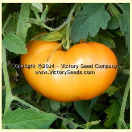 Orange Heirloom Tomato
