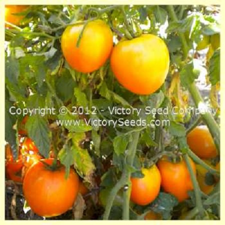 Podorok Fei Tomato<br><b>SOLD OUT for 2020</b>