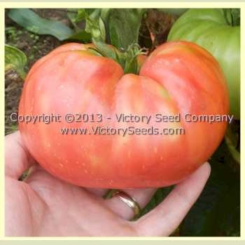 Pruden's Purple Tomato