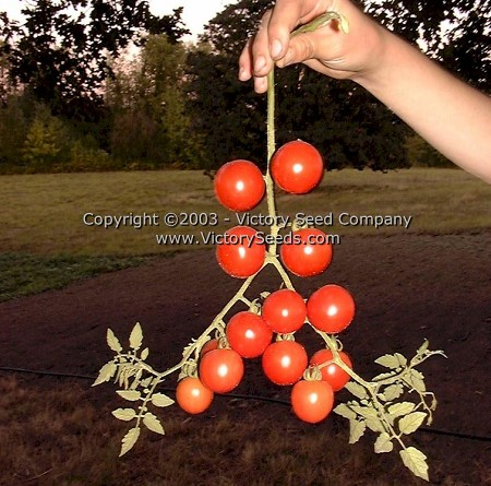 Royal Red Cherry Tomato