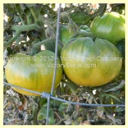 Summertime Green Tomato