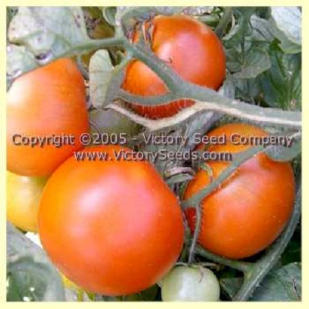 Variegated (Splash of Cream) Tomato<br><b>SOLD OUT until 2022</b>