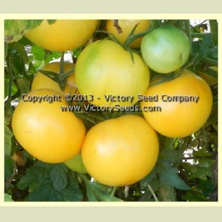 Yellow Lemon Tomato