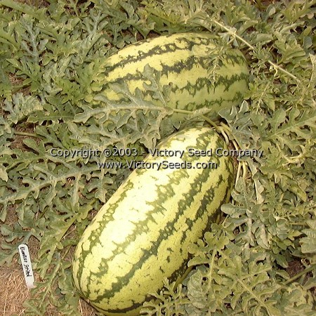 Klondike Blue Ribbon Watermelon